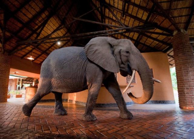 فيل يتجوّل في الفندق ويسرق الفاكهة